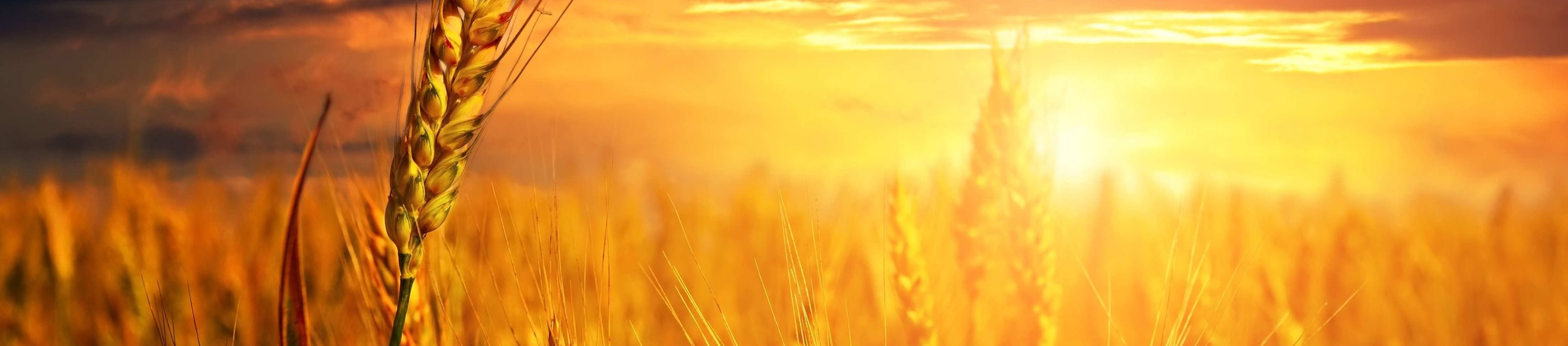 wheat-now-banner